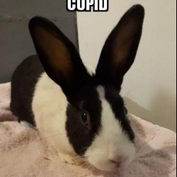 Rabbits for Adoption-Cupid